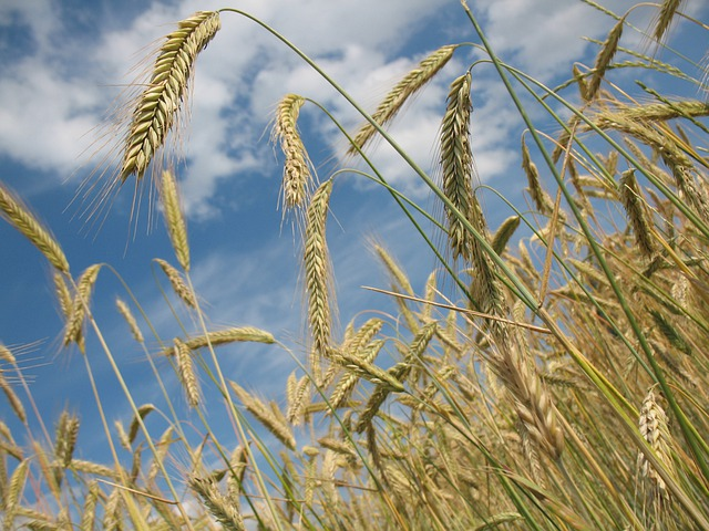 Cereals, Wheat, Agriculture, Wheat Field, Grain