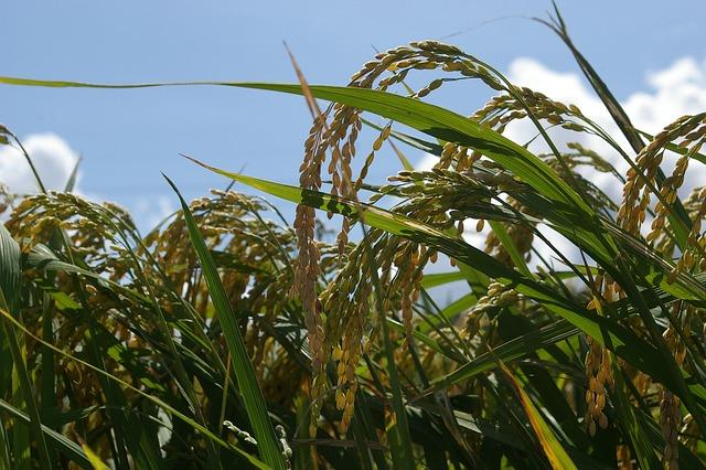 Ch, Rice, Farming, Plants, Autumn, Grain