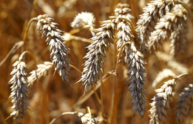 Cereals, Grain, Agriculture, Cornfield, Nature, Spike
