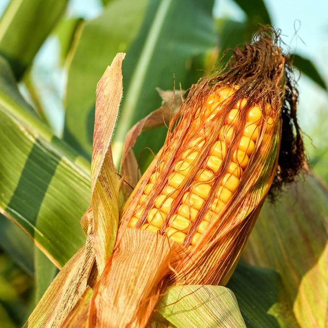 Corn On The Cob, Corn, Grain, Corn Kernels, Grains