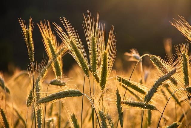 Wheats, Grains, Wheat Field, Food, Barley, Field