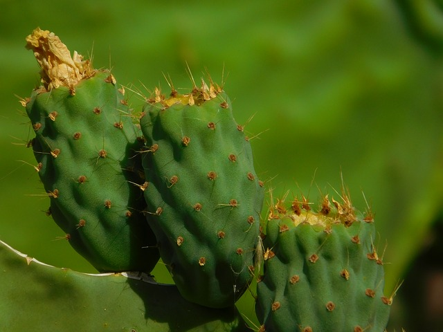 Cactus, Green, Colors, Gran Canaria, Canary