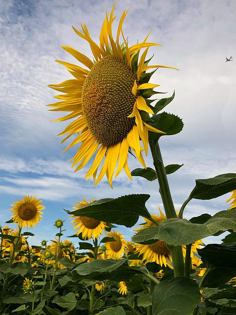 Sunflower, Flower, Yellow, Grand, Field, Nature
