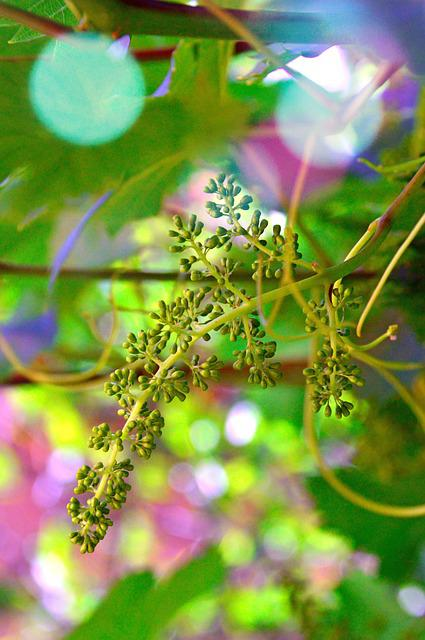 Grape, Grape Flower, Immature Grapes, White Grapes