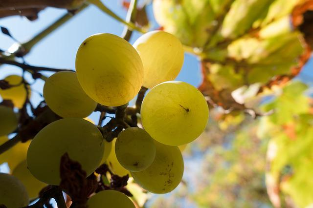 Grape, Wine, Vine, Low Angle Shot, Wine Harvest