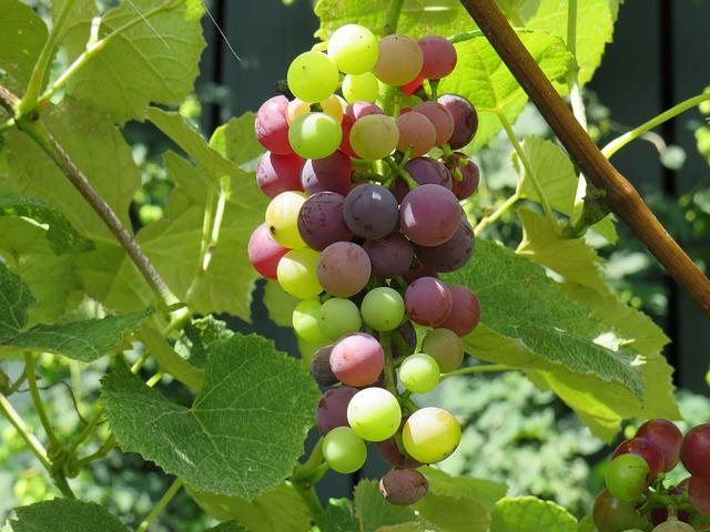 Grape, Bunch, Mars, Vine, Vineyard, Seedless, Organic