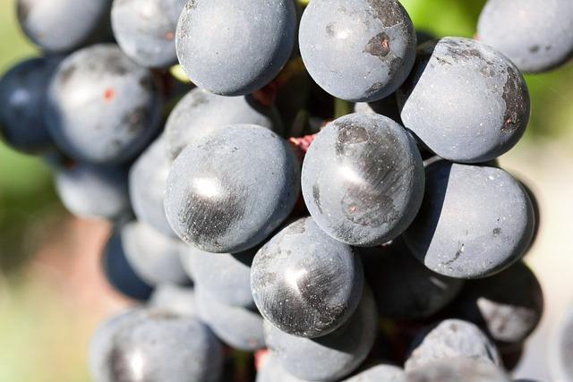 Grapes, Wine, Grape, Blue, Fruit, Fruits, Plant, Autumn