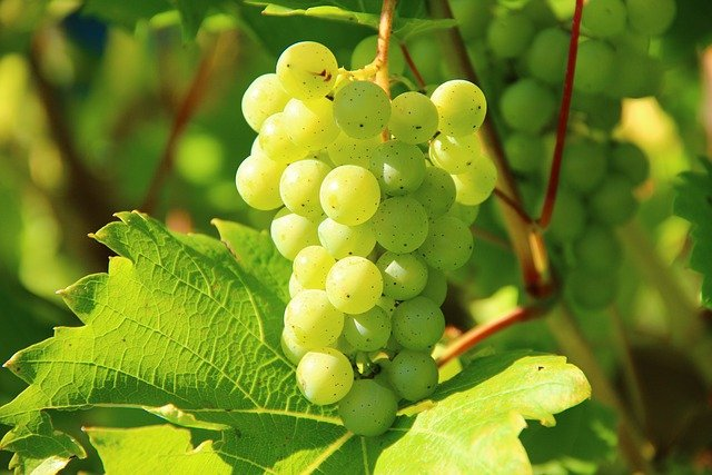 Grapes, Wine, Fruit, Vines, Vines Stock, Winegrowing