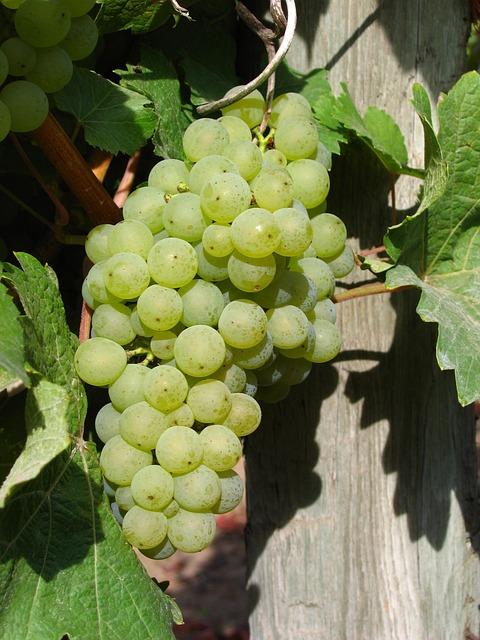 White Grape Cluster, Grapes, Vine, Grapevine