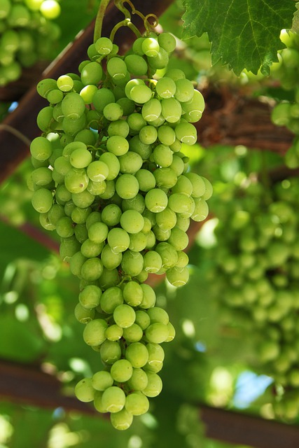 Grapes, Agriculture, Cluster, Food, Fresh, Fruit, Green