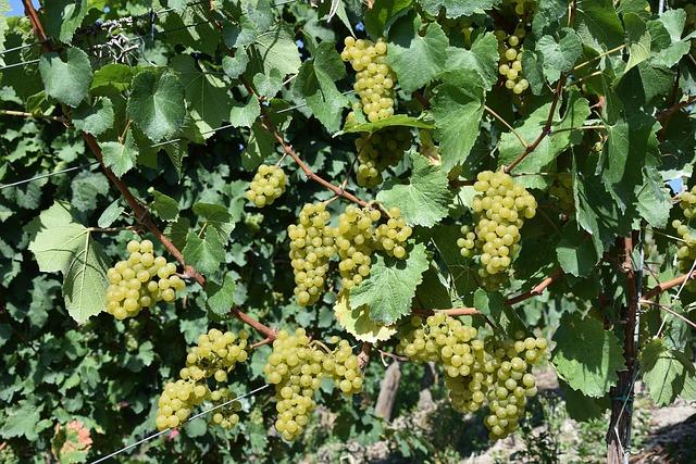 Grapes, Grape, Mature, Grape Harvest, Vine, Grapevine