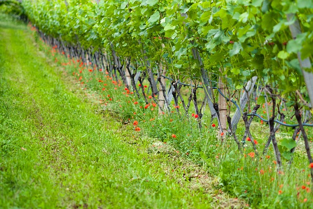 Grapevine, Nature, Vines, Vineyard, Winegrowing, Grapes