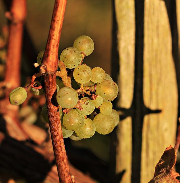 Grapes, Autumn, Vines, Rebstock, Nature, Wine