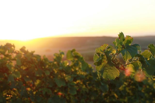 Vineyards, Rheinhessen, Rheinland, Wine, Grapes