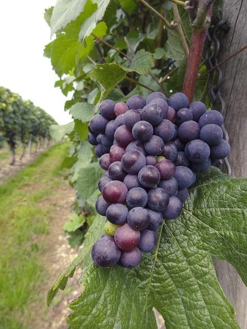 Wine, Vine, Grape, Winegrowing, Grapes