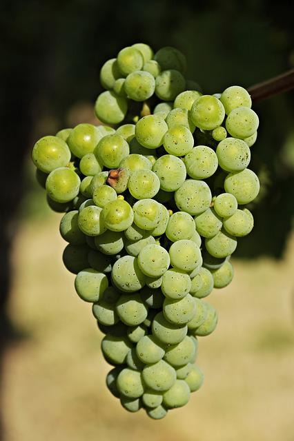 Wine, Grapes, Grapevine, Vine, Fruit, Winegrowing