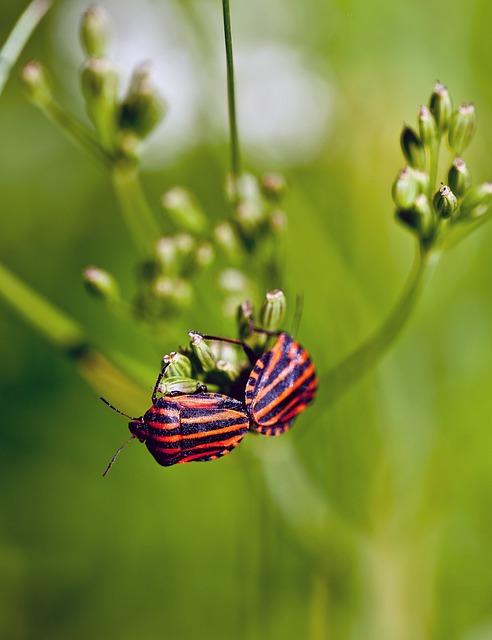 Insects, Graphosoma, Baldaszówka, Meadow, Summer, Macro