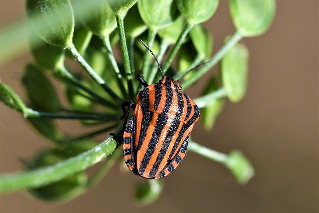 Graphosoma Lineatum, Insect, Nature, Striped, Garden