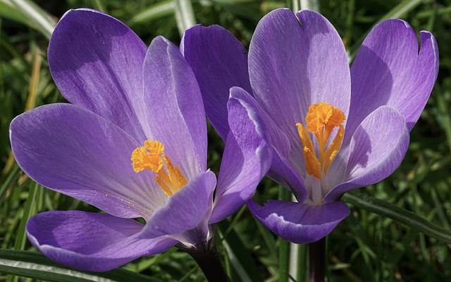 Crocus, Schwertliliengewaechs, Flower, Plant, Grass