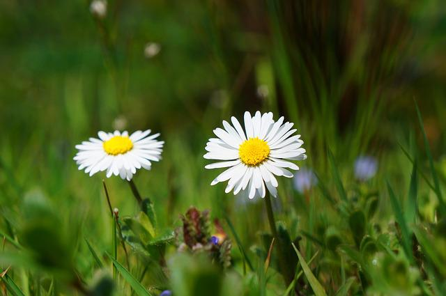 Daisy, Flower, Blossom, Bloom, White, Meadow, Grass