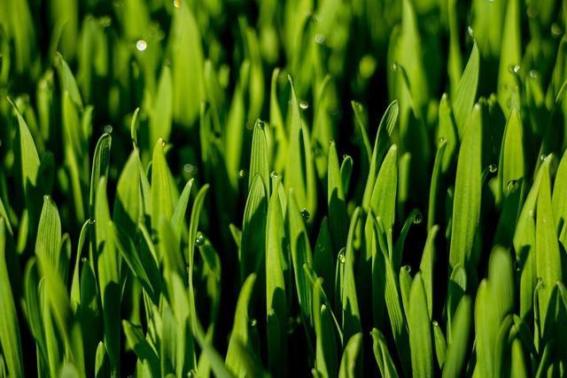 Macro, Grass, Wheat Grass, Dew Drops, Green