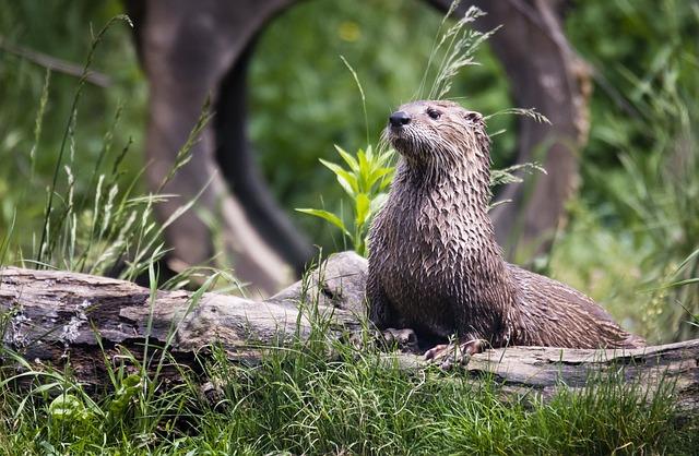 Animal, Animal Photography, Grass, Log, Otter