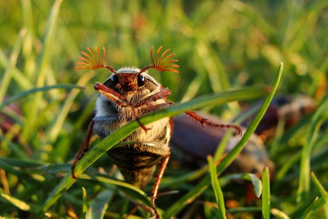 Maybug, Beetle, Macro, Maikäfer, Grass, Insect