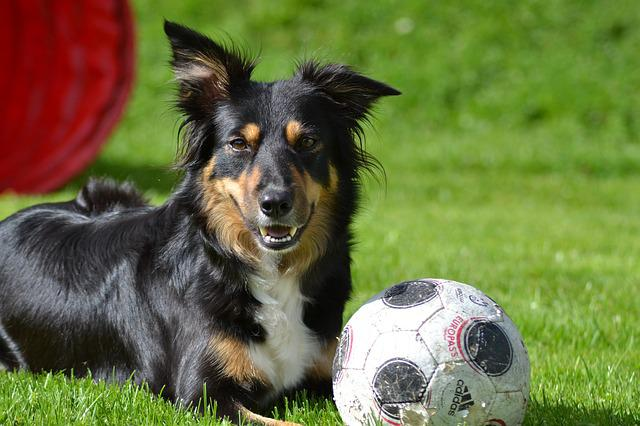 Dog, Border Collie, Mobility, Ball, Grass, Paly