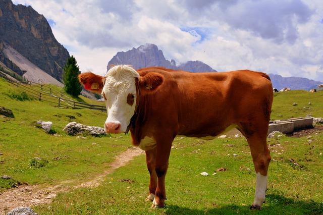 Cow, Dolomites, Prato, Grass, Bovino, Livestock, Nature