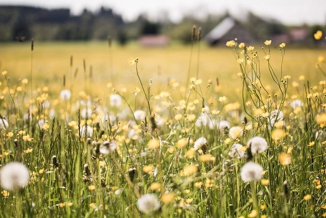 Dandelion, Field, Depth Of Field, Nature, Grass, Yellow