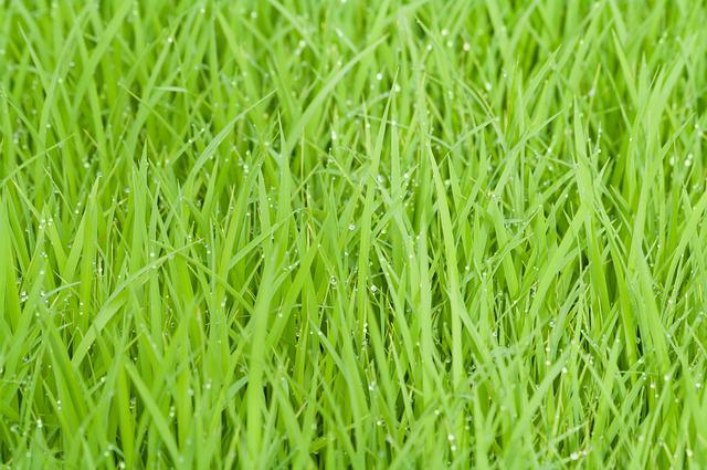 Rice Field, Green, Grass, Nature, Plant, Natural