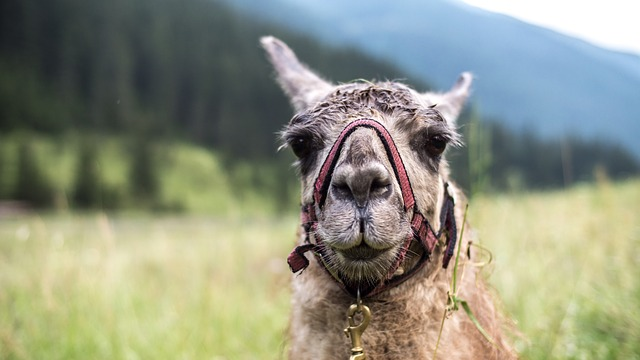 Nature, Animal, Grass, Lama