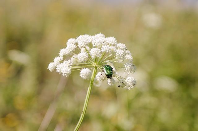 Nature, Plant, Flower, Outdoors, Grass, Cockchafer