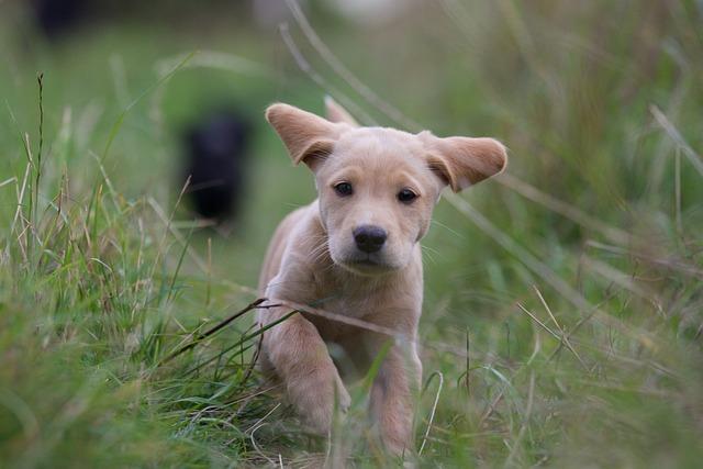 Puppy, Labrador Cocker, Running, Grass