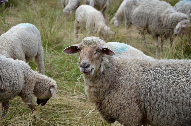 Sheep, Pasture, Meadow, Grass, Wool, Sheep's Wool