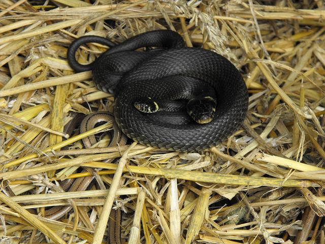 Grass Snake, Slow Worm, Compost