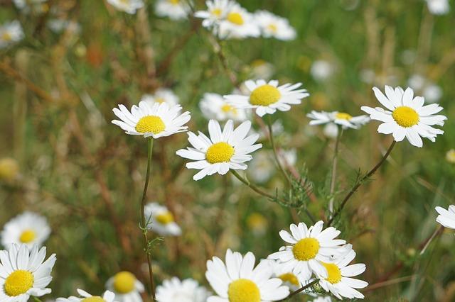 Chamomile, Flowers, Meadow, Green, Field, Summer, Grass