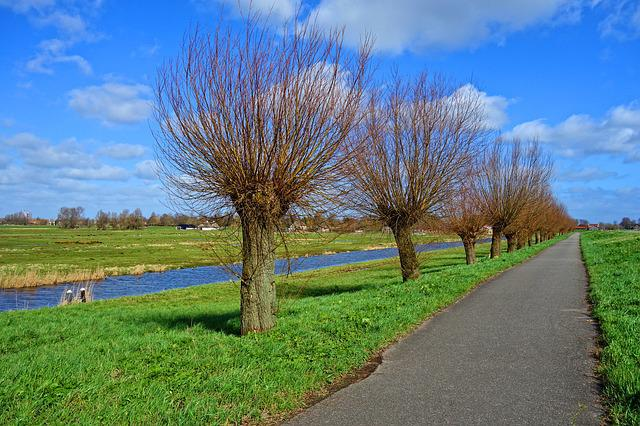 Tree, Pollards, Willow, Pollarded Willow, Road, Grass