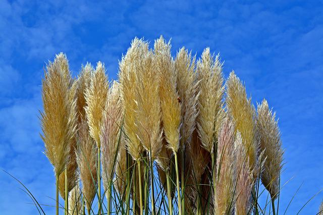 Selloana, Sky, Grasses, Plant, Nature, Blue Sky
