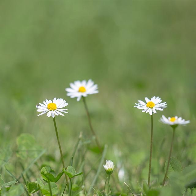 Gänsblümchen, Nature, Meadow, Grasses, Klee, Green