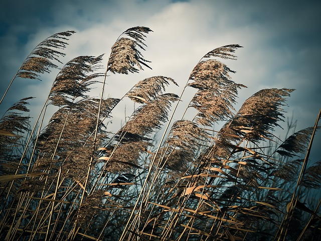 Reed, Grass, Nature, Grasses, Plant, Meadow, Landscape