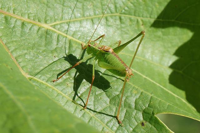 Grasshopper, Green, Nature, Animal, Insect, Close, Leaf