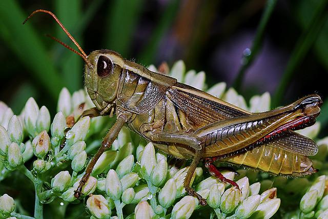 Grasshopper, Macro, Arthropod, Invertebrate, Insect