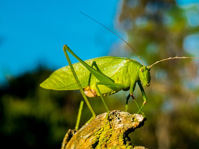 Grasshopper, Insect, Close Up, Green