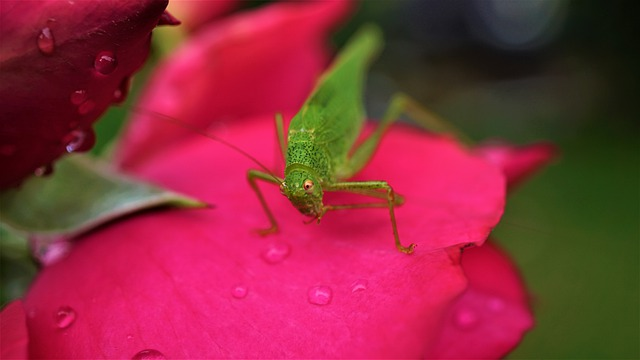 Grasshopper, Rose, Flower, Pink, Green, Red, Insect
