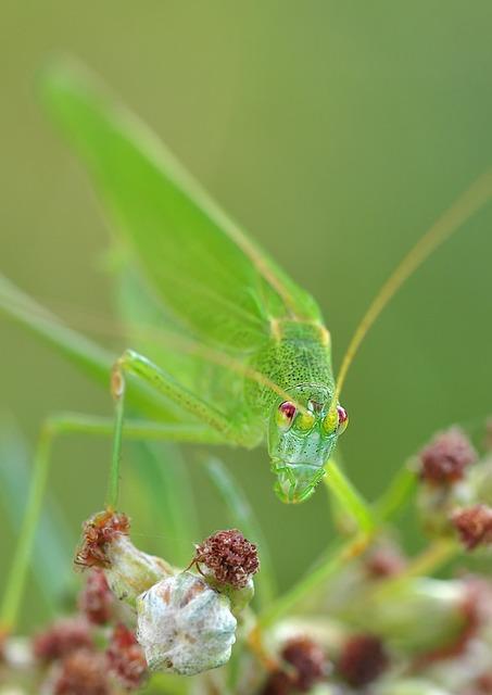 Konik, Grasshopper, Insect, Macro
