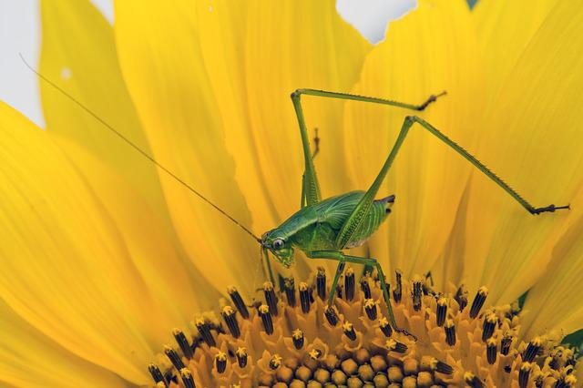 Sunflower, Bug, Grasshopper, Insect, Flower, Nature