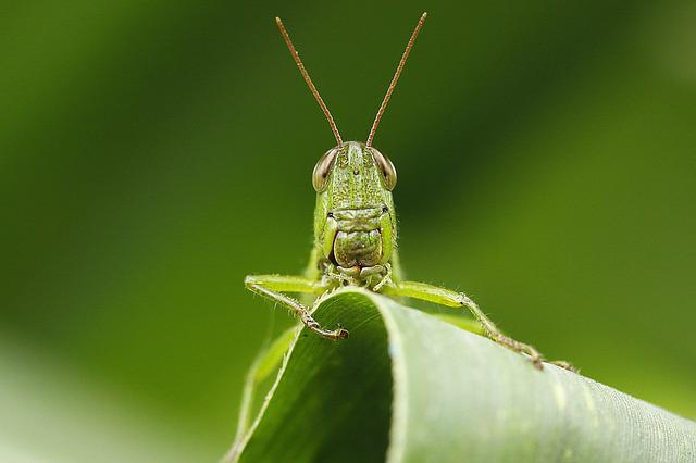 Insect, Leaf, Grasshopper, Macro
