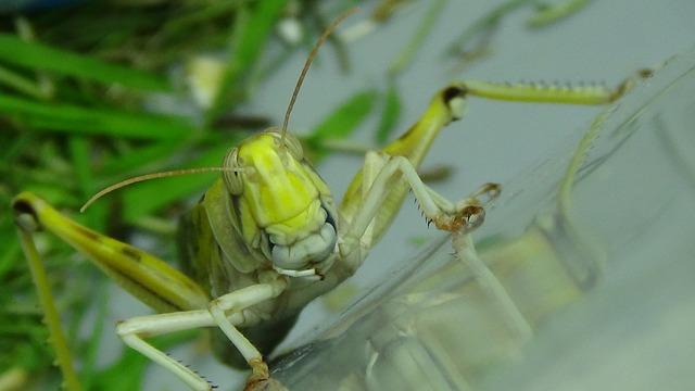 Grasshopper, Desert Locust, Migratory Locust