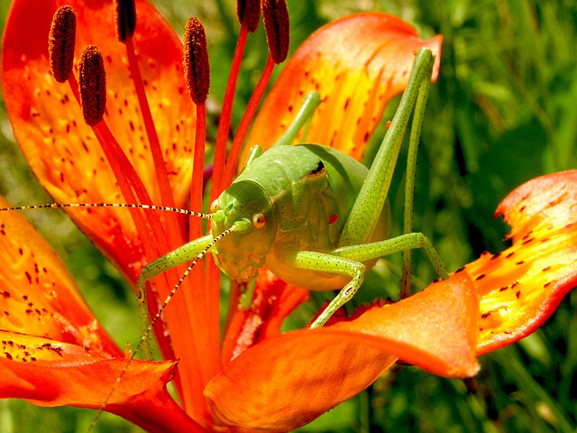 Grasshopper, Martagon Lily, Flowers, Nature